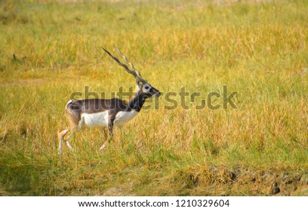 The blackbuck or Indian antelope in the forest. #1210329604