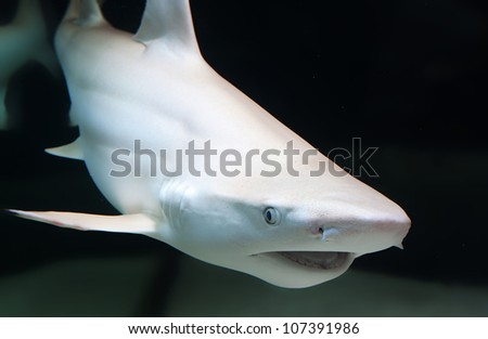 The blacktip reef shark, Carcharhinus melanopterus