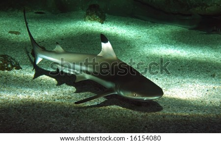 The blacktip reef shark, Carcharhinus melanopterus. - stock photo