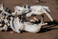 The bleached skull of a hippo lies in the sand where it dies during a savage drought in the Manyeleti Game Reserve in South Africa