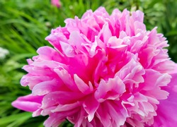 the blooming pink peony in the garden.