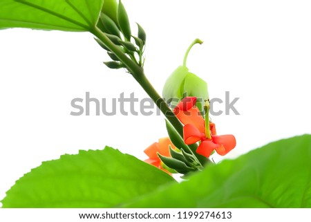 The blooming red flowers show the stamens that are larger than the stamens. #1199274613