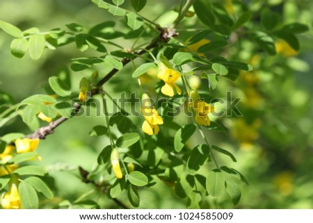 The blossoming acacia branch yellow flowers of an acacia on a the blossoming acacia branch yellow flowers of an acacia on a green vegetable background it mightylinksfo
