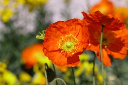 The blossoming poppy. Flowers of poppy of brightly orange coloring close up horizontally. Macro.  Papaver. Papaveraceae Family. Beautiful spring background with flowers horizontally.