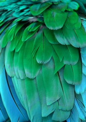 The blue and green feathers of a macaw.