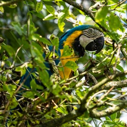 The Blue-and-yellow Macaw, Ara ararauna also known as the blue-and-gold macaw, is a large South American parrot with mostly blue top parts and light orange underparts