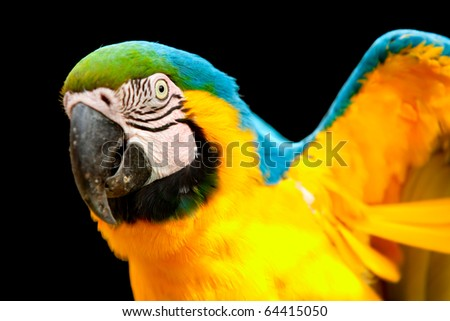 The Blue-and-yellow Macaw (Ara ararauna), also known as the Blue-and-gold Macaw, is a member of the group of large Neotropical parrots known as macaws.