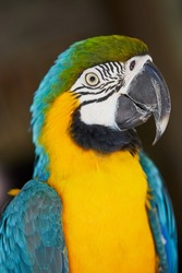 The blue-and-yellow macaw (Ara ararauna), blue-and-gold macaw,  is a large South American parrot with mostly blue top parts and light orange underparts, with green on top of its head. Portrait macro