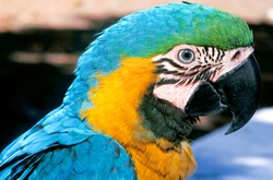 The blue-and-yellow macaw or Blue-and-gold macaw;  Arara ararauna.  It is a large South American parrot member of the large group of Neotropical parrots known as macaws. February, 2014.