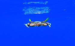 The blue crab - (Callinectes sapidus)