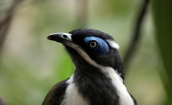 the blue faced honeyeater is black, white and olive green. He has a blue eye beow.