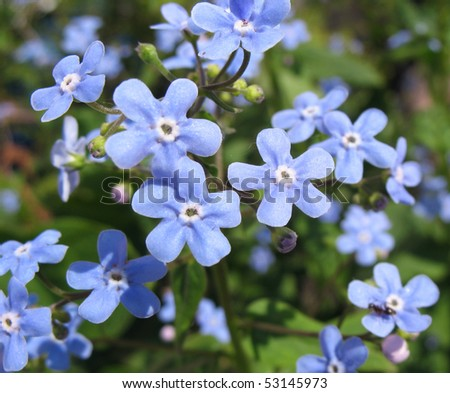 The blue flowers of Brunnera