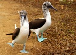 The Blue-Footed Booby in Isla De La Plata, Ecuador
