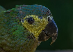The blue-fronted or turquoise-fronted amazon (Amazona aestiva) sits and eat pasta. Its a mainly green parrot about 38 cm (15 in) long. It is found in forests, woodland, savanna and palm groves.