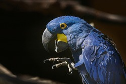 The blue macaw Ara hyacinth sits and has an open beak and a raised leg with claws.