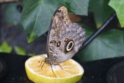 The blue morpho butterfly, Morpho peleides or sky butterfly is a butterfly from the noble butterfly family, Nymphalidae, Costa Rica, on a lemon, eating fruits.