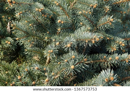 The blue spruce, green or white spruce, Colorado spruce, or Colorado blue spruce, with the Latin (scientific) name Picea pungens #1367573753
