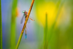 The blue-tailed damselfly or common bluetail (Ischnura elegans) holding on to blades of grass and eating its prey, mayfly. Macro shot, high magnification. Shallow depth of field.