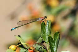 The blue-tailed damselfly or common bluetail (Ischnura elegans) is a damselfly, belonging to the family Coenagrionidae. , beatiful photo