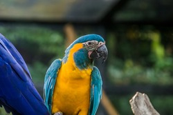 The blue-throated macaw (Ara glaucogularis; previously Ara caninde) is a macaw endemic to a small area of north-central Bolivia.  This species was designated by law  as a natural patrimony of Bolivia.