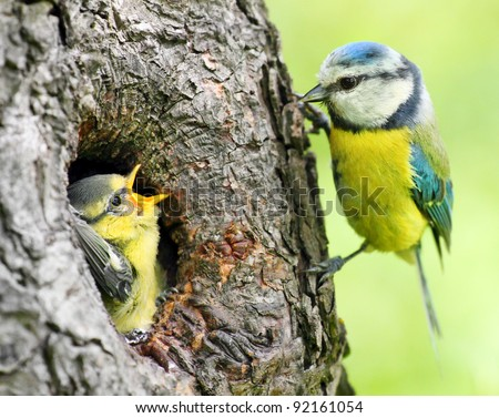 The Blue Tit (Cyanistes caeruleus) feeding her young one. Telephoto lens shot with shallow DOF. #92161054
