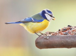 The Blue Tit (Cyanistes caeruleus) on a bird table.