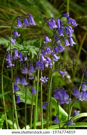 The Bluebell indigenous to the UK has a flower head that droops to one side so the individual bells hang to one side. The introduced and invasive Spanish Bluebell is more erect. Stok fotoğraf ©