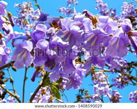 The bluebell tree (Paulownia tomentosa)