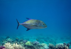 The bluefin trevally, Caranx melampygus swimming in the sea.