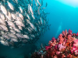 The bluefin trevally fish widely distributed marine fish classified in the jack family
