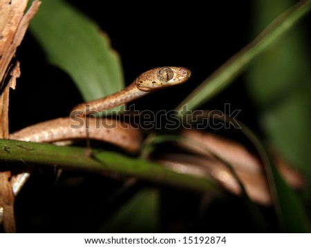 The Blunthead Tree Snake or Chunk-Headed Snake (Imantodes cenchoa) in Costa Rica
