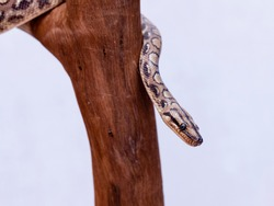 The boa constrictor (Boa constrictor), also called the red-tailed boa or the common boa, is a species of large, non-venomous, heavy-bodied snake that is frequently kept and bred in captivity