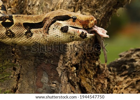 The boa constrictor (Boa constrictor), also called the red-tailed boa or the common boa, on the old branche after hunt eating a rat. Brown and green background.n green forest. Green background. Foto stock ©
