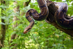 The boa constrictor (Boa constrictor), also called the red-tailed or the common boa on a branch in the middle of the forest. A large snake on a branch in the green of a bright forest.