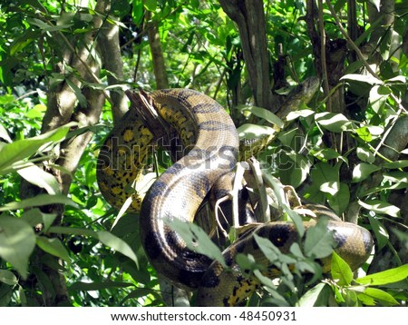 The Boa constrictor (Boa constrictor) is a large, heavy-bodied species of snake. It is a member of the Boidae family found in Central America, South America and some islands in the Caribbean