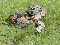The boa constrictor constrictor, also called the redtail boa, is a giant snake that is widespread in South America and in captivity.