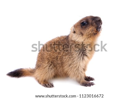The bobak marmot cub on white