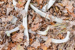 The bones of a large animal lie in the ground in the autumn forest