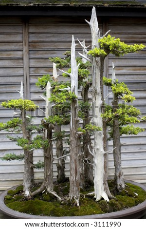 The Bonsai plant is the result of patient and skillful attention