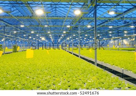 The border of bunching lettuce in glasshouse