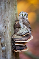 The boreal owl (Aegolius funereus) is a small owl. In Europe, it is typically known as Tengmalm's owl