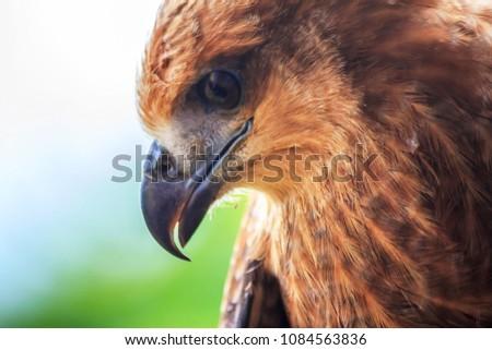 The Borneo Eagle #1084563836