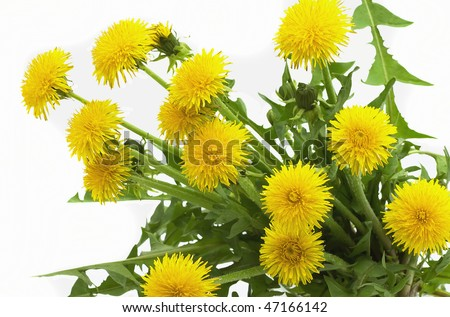 The bouquet of dandelions with leaves is isolated on a white background