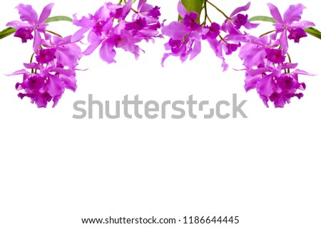 The bouquet of purple color Cattleya orchid flowers, the showy Cattleya, Queen of the orchids with green leaves set as the frame from top isolated on white background with space for text.