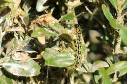 The box tree moth caterpillar