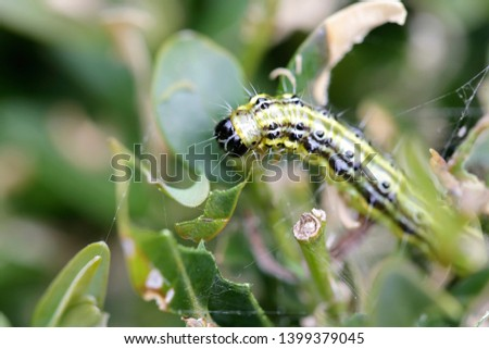 The boxwood caterpillar or boxwood moth destroys many plants in the Netherlands #1399379045