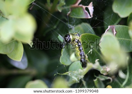The boxwood caterpillar or boxwood moth destroys many plants in the Netherlands #1399379048