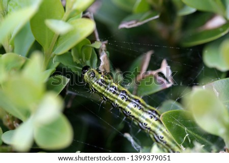 The boxwood caterpillar or boxwood moth destroys many plants in the Netherlands #1399379051