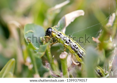 The boxwood caterpillar or boxwood moth destroys many plants in the Netherlands #1399379057