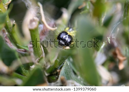 The boxwood caterpillar or boxwood moth destroys many plants in the Netherlands #1399379060